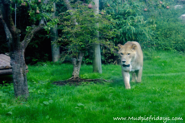 Howletts Lions