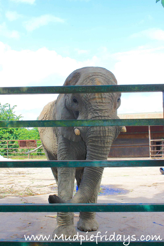 Howletts Elephants