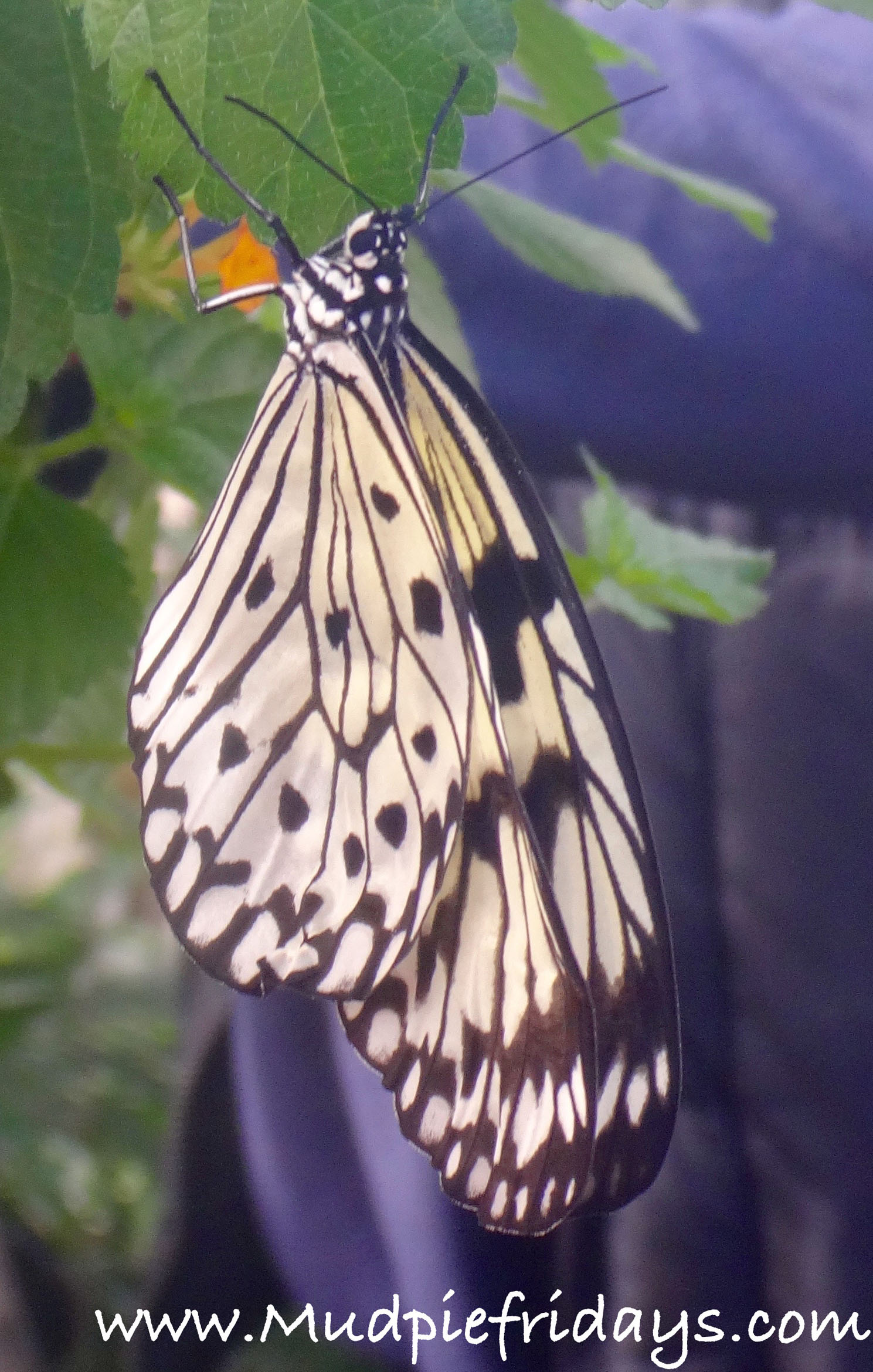 Butterflies at Wisley Glsss House