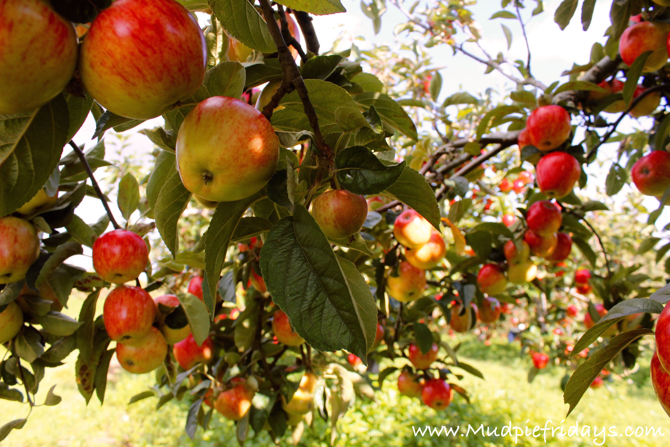 Apple picking at Castle Farm