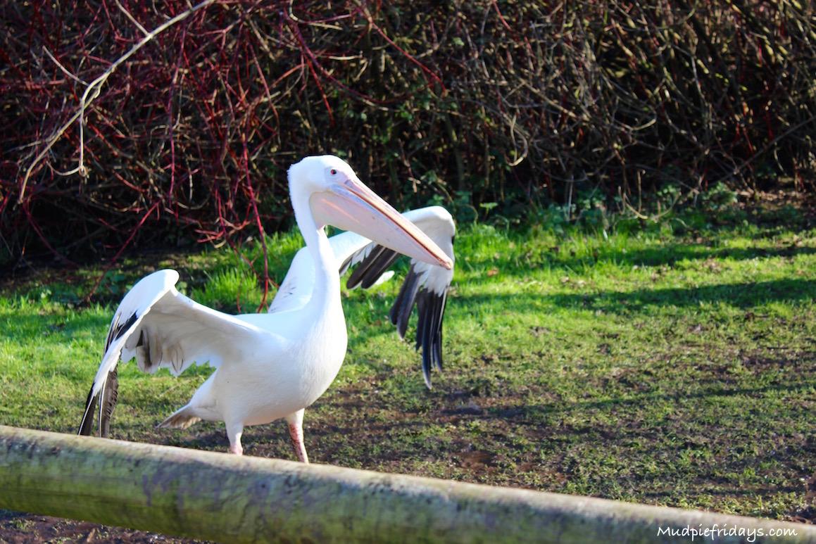 Pelicans at Bird World