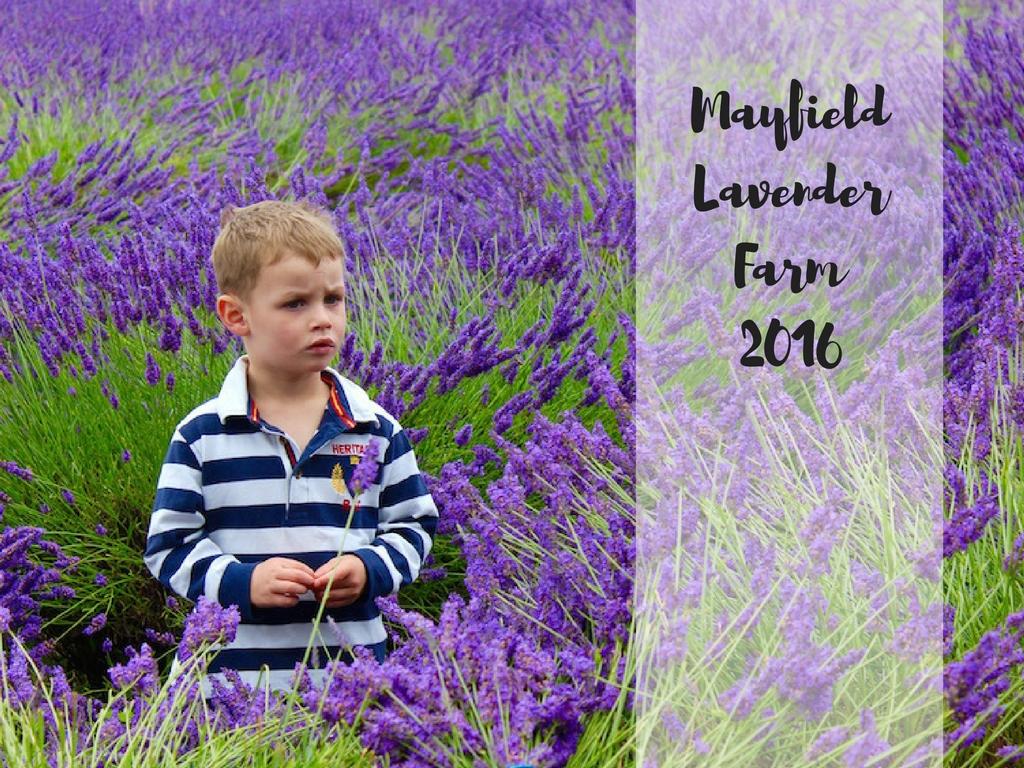 MayfieldLavenderFields2016-2