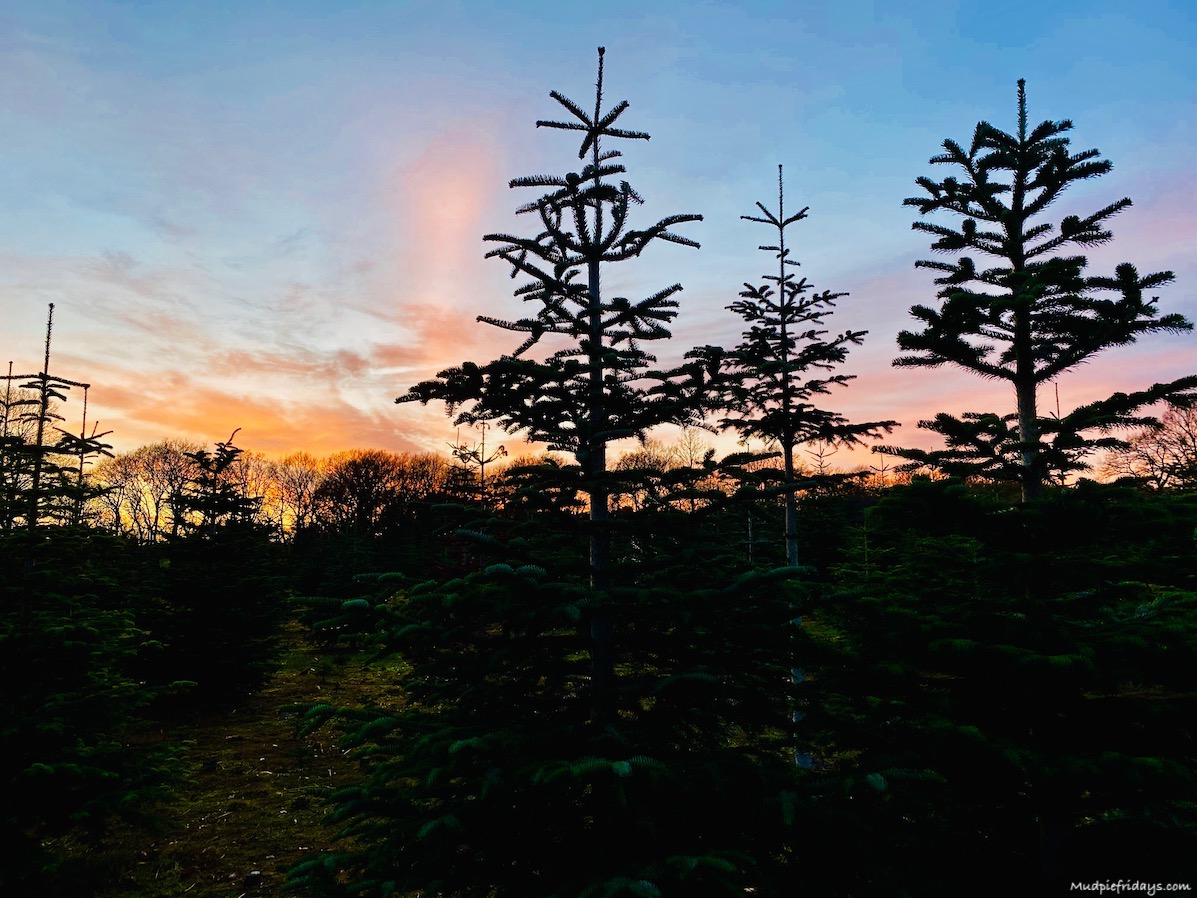 Christmas Trees at sunset